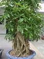 Công dụng của cây ngũ gia bì